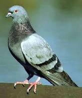 Pigeonone